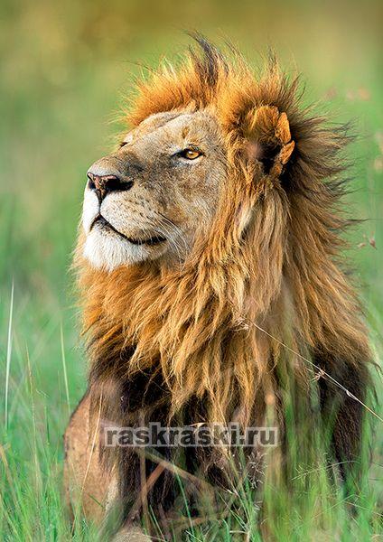 Купить пазл Trefl 1000 «Лев» в интернет-магазине Раскраски.Ру